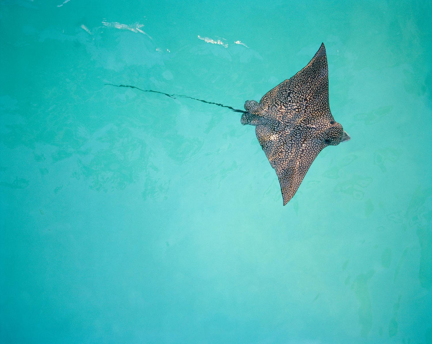 spotted-eagle-ray-2012-bora-bora-french-polynesia-sold-out